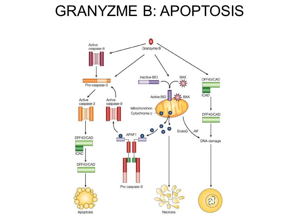 GRANYZME B: APOPTOSIS