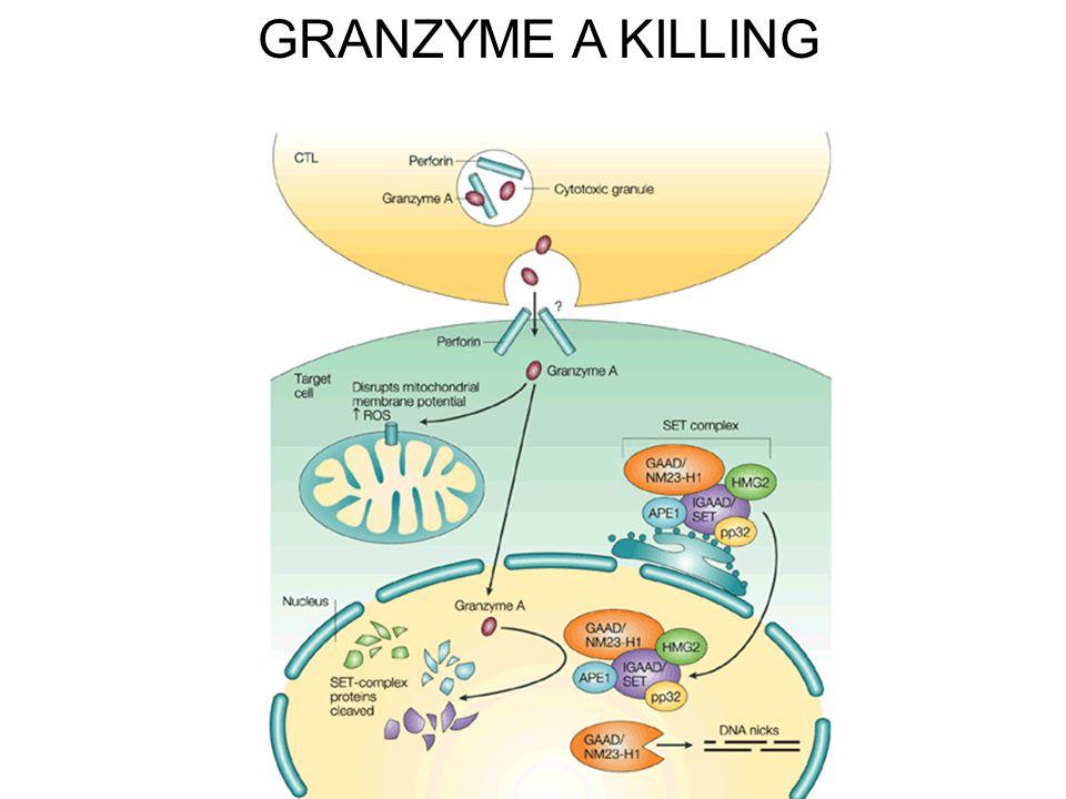 GRANZYME A KILLING