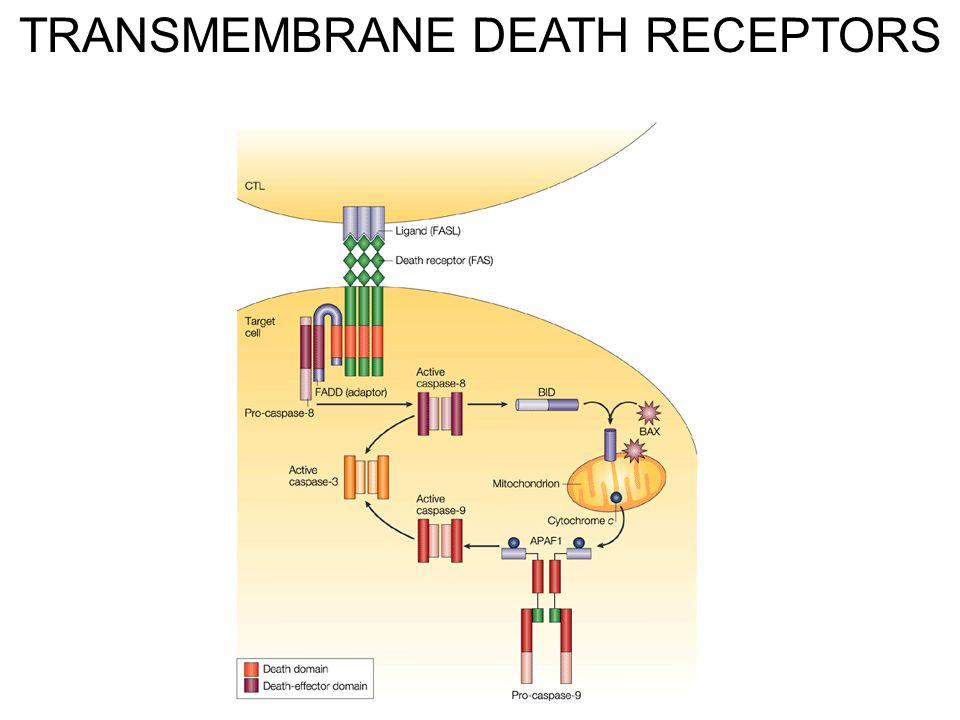 TRANSMEMBRANE DEATH RECEPTORS