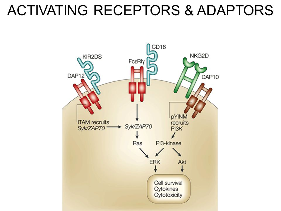 ACTIVATING RECEPTORS & ADAPTORS