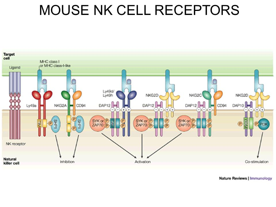 MOUSE NK CELL RECEPTORS