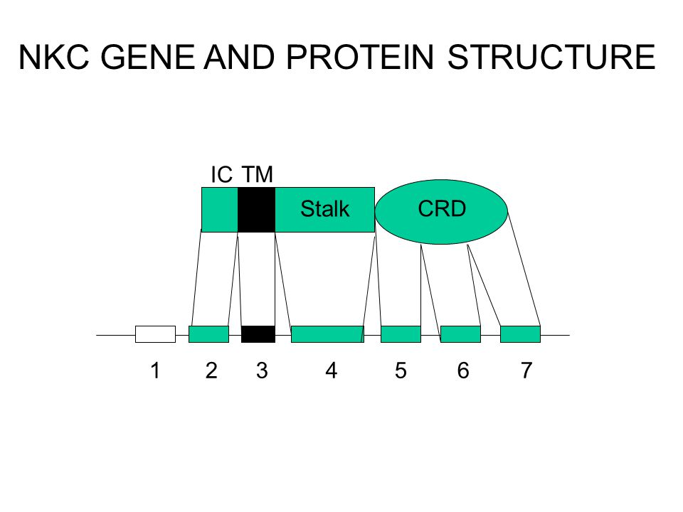 Stalk CRD 1 2 3 4 5 6 7 TM IC NKC GENE AND PROTEIN STRUCTURE