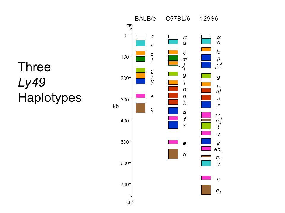 0 100 200 300 400 500 600 700 kb CEN TEL  o i2i2 p pd g i1i1 ui u r ec 1 q3q3 t s lr ec 2 q2q2 v e 129S6  a c m j l g i n h k d f x e q q1q1 C57BL/6  a c l g i y e q BALB/c Three Ly49 Haplotypes