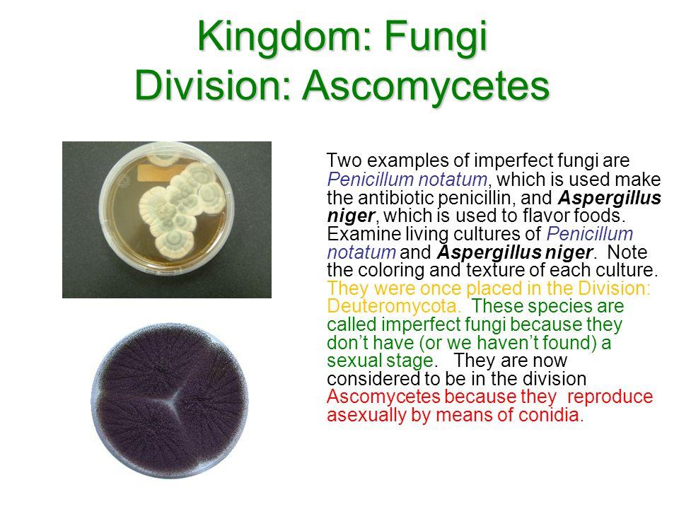 Kingdom: Fungi Division: Ascomycetes Two examples of imperfect fungi are Penicillum notatum, which is used make the antibiotic penicillin, and Aspergi