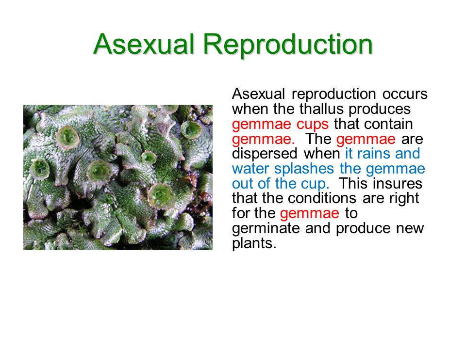 Asexual Reproduction Asexual reproduction occurs when the thallus produces gemmae cups that contain gemmae. The gemmae are dispersed when it rains and