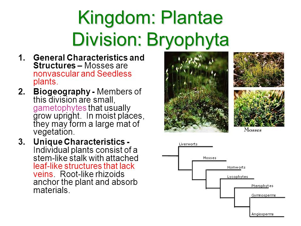 Kingdom: Plantae Division: Bryophyta 1.General Characteristics and Structures – Mosses are nonvascular and Seedless plants. 2.Biogeography - Members o