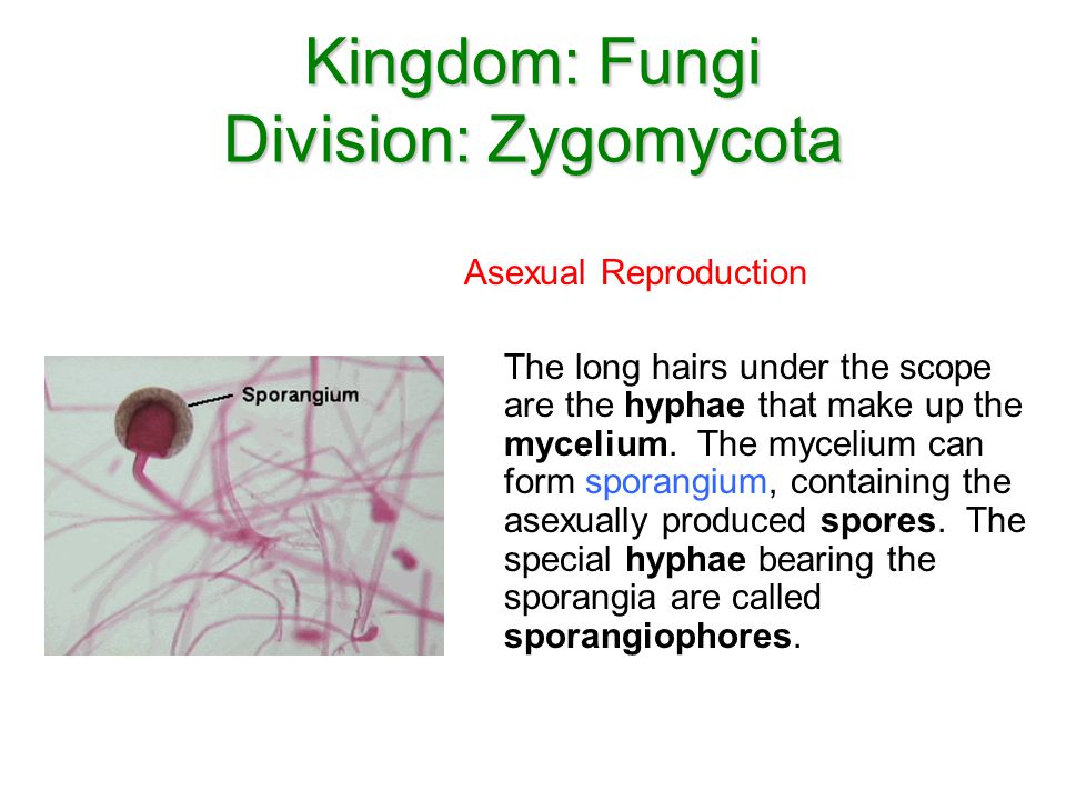 Kingdom: Fungi Division: Zygomycota Asexual Reproduction The long hairs under the scope are the hyphae that make up the mycelium. The mycelium can for
