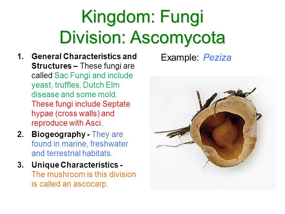 Kingdom: Fungi Division: Ascomycota Example: Peziza 1.General Characteristics and Structures – These fungi are called Sac Fungi and include yeast, tru