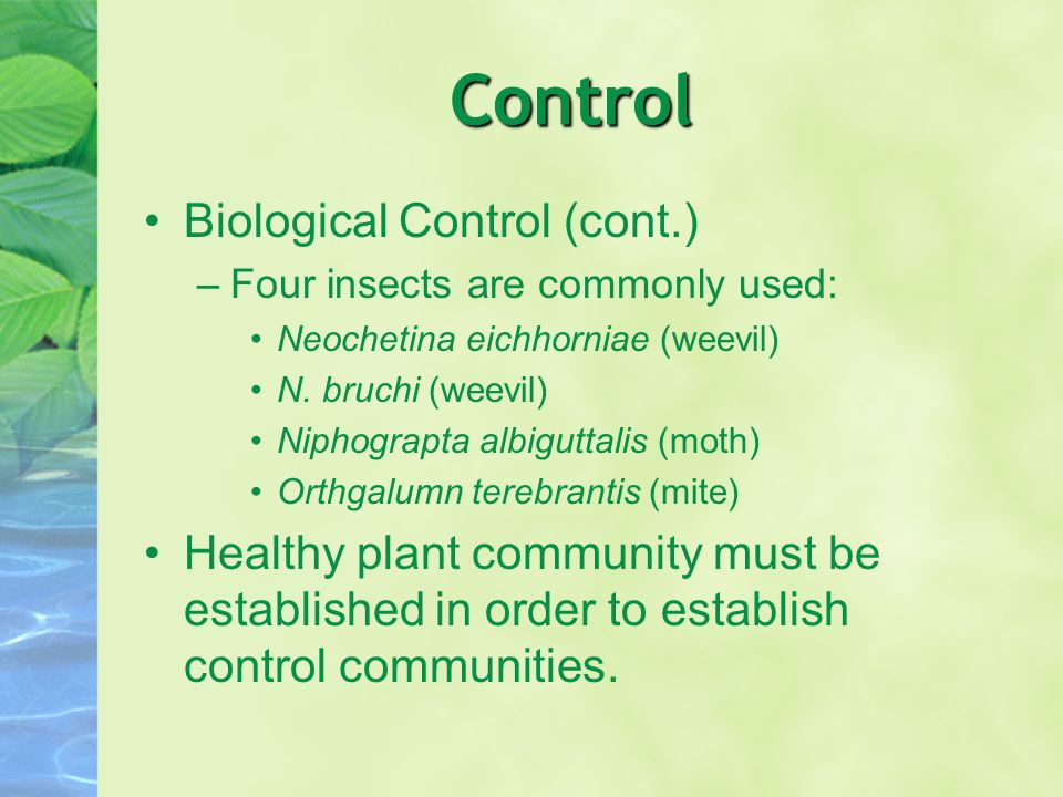 Control Biological Control (cont.) –Four insects are commonly used: Neochetina eichhorniae (weevil) N.
