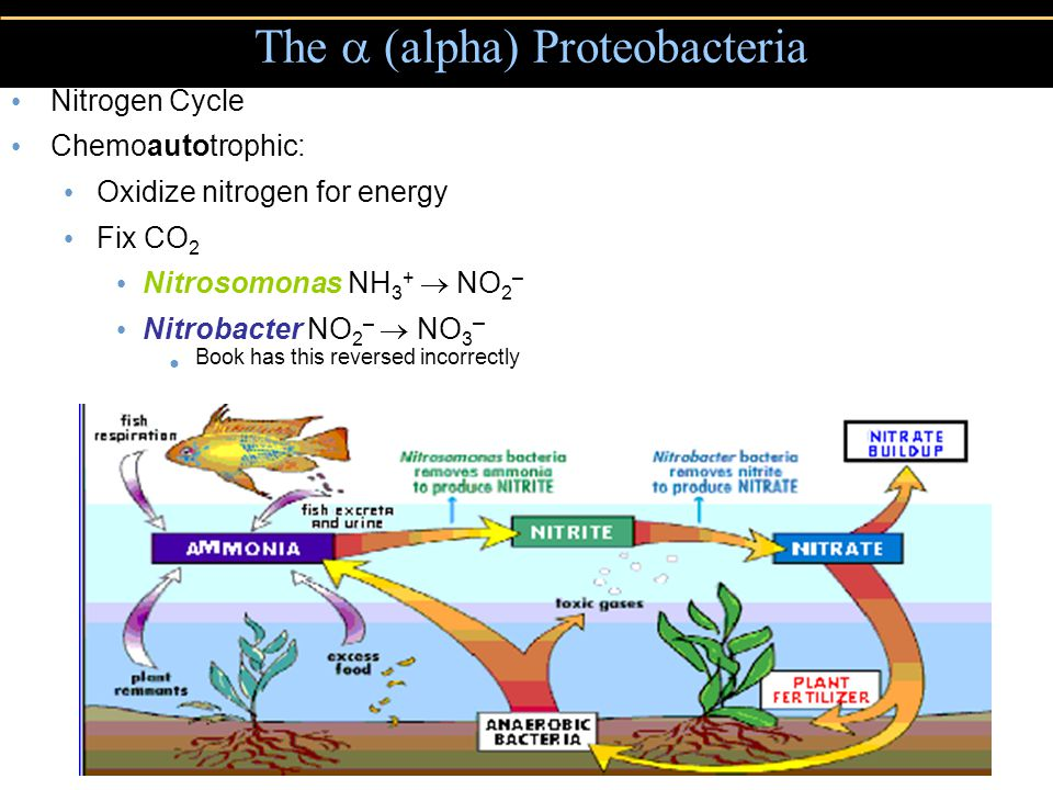 Nitrogen Cycle Chemoautotrophic: Oxidize nitrogen for energy Fix CO 2 Nitrosomonas NH 3 +  NO 2 – Nitrobacter NO 2 –  NO 3 – Book has this reversed incorrectly The  (alpha) Proteobacteria