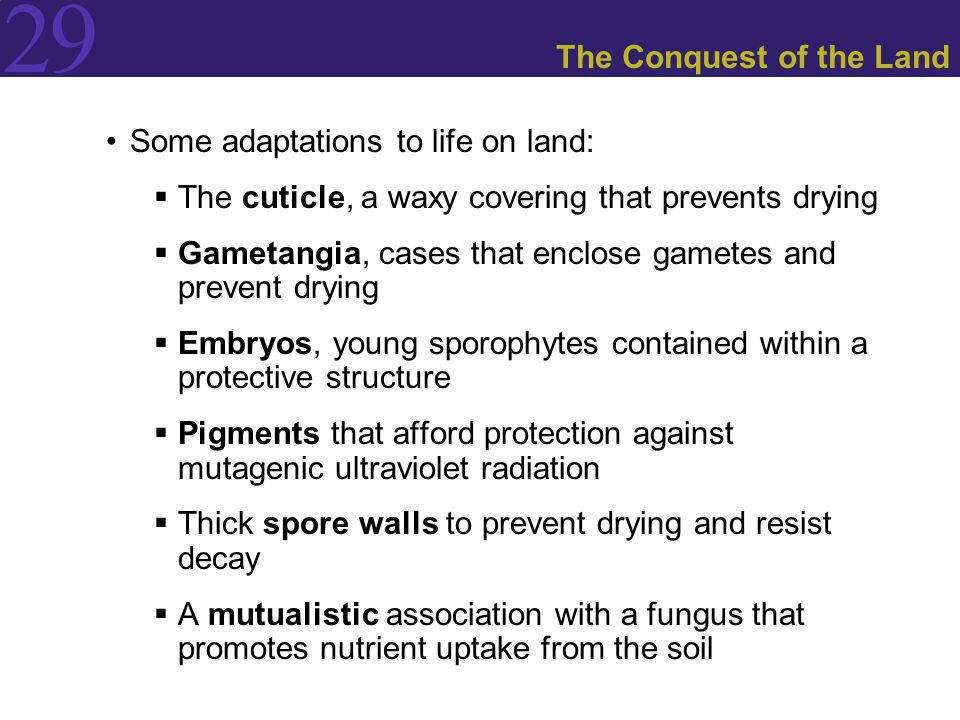 29 The Conquest of the Land Some adaptations to life on land:  The cuticle, a waxy covering that prevents drying  Gametangia, cases that enclose gametes and prevent drying  Embryos, young sporophytes contained within a protective structure  Pigments that afford protection against mutagenic ultraviolet radiation  Thick spore walls to prevent drying and resist decay  A mutualistic association with a fungus that promotes nutrient uptake from the soil
