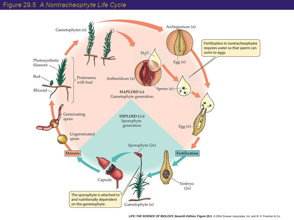 Figure 29.5 A Nontracheophyte Life Cycle