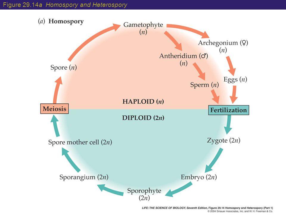 Figure 29.14a Homospory and Heterospory