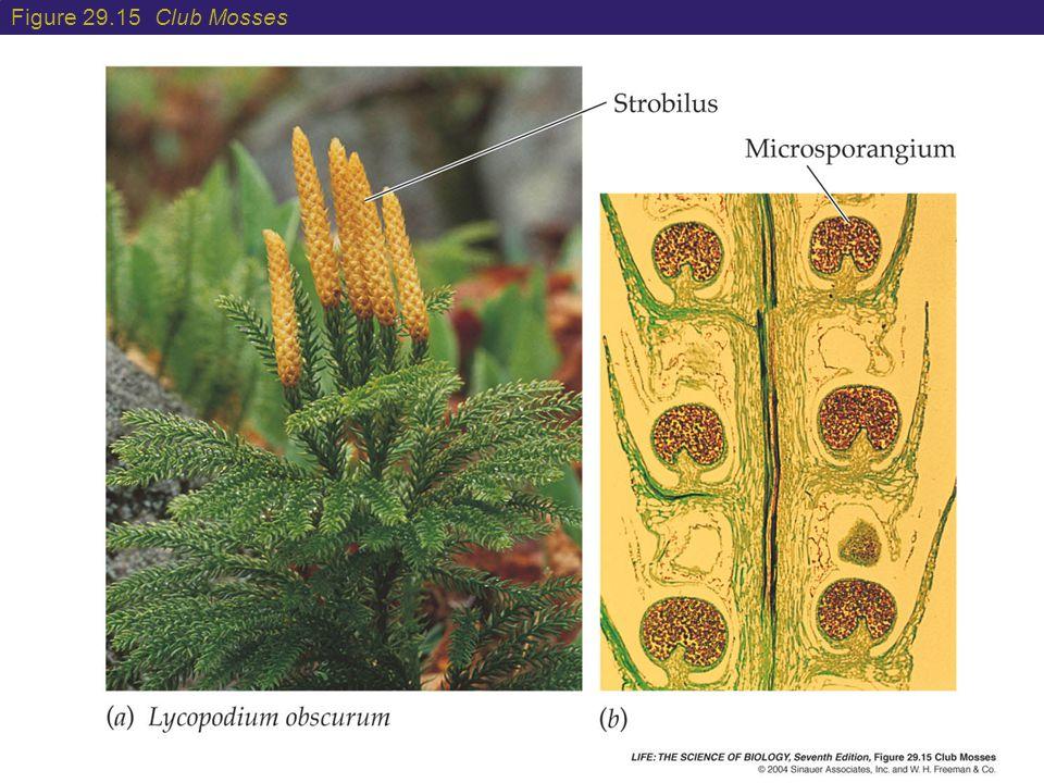 Figure 29.15 Club Mosses