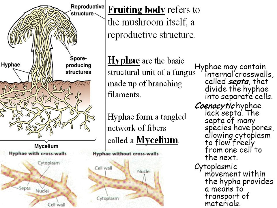 Hyphae may contain internal crosswalls, called septa, that divide the hyphae into separate cells.