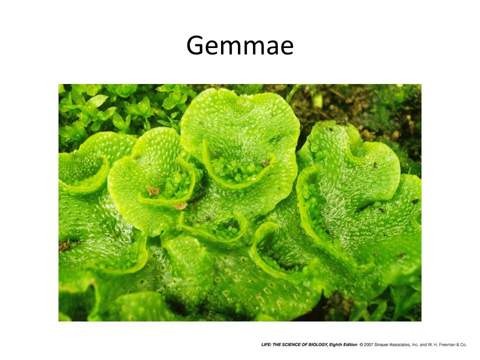 Gemmae