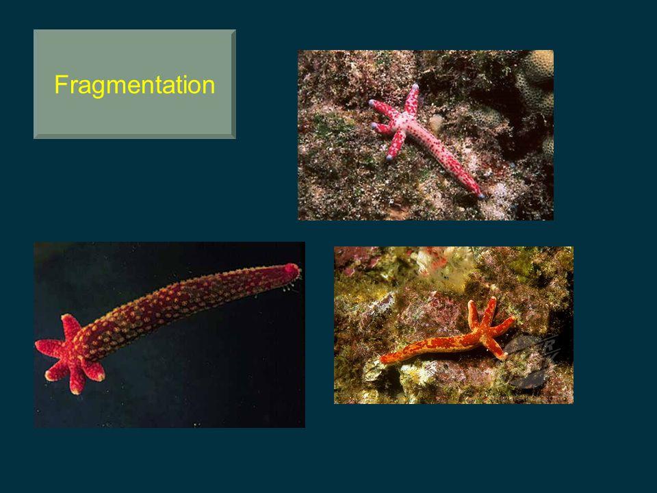 Fragmentation Amazing power of regeneration in starfish