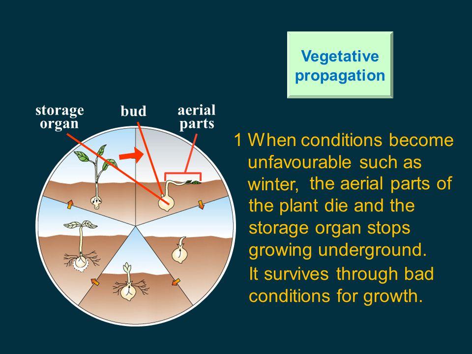 development of new plants from vegetative / food storage organs 1. Bulb 2. tuber 3. rhizome 4. corm