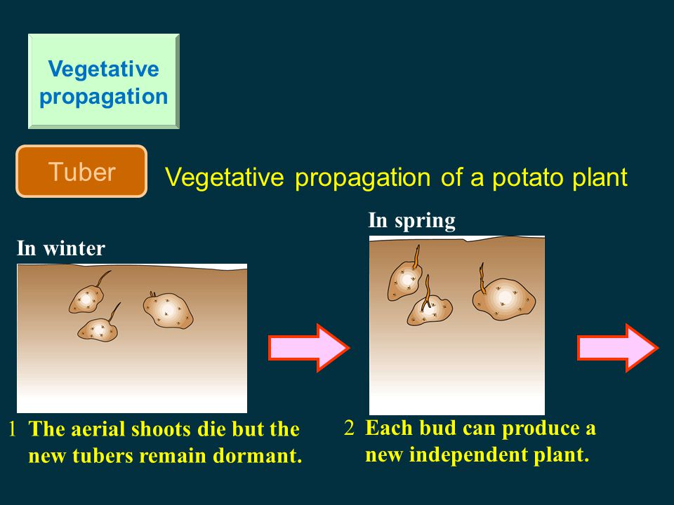 Vegetative propagation Tuber Vegetative propagation of a potato plant