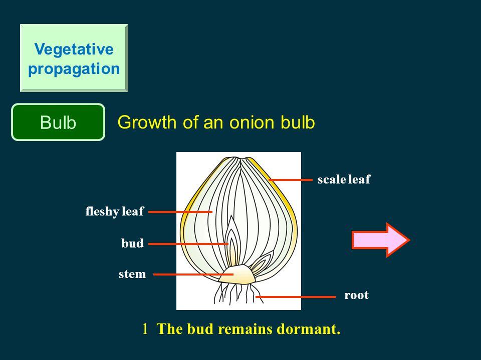 Bulb Vegetative propagation onion bulb