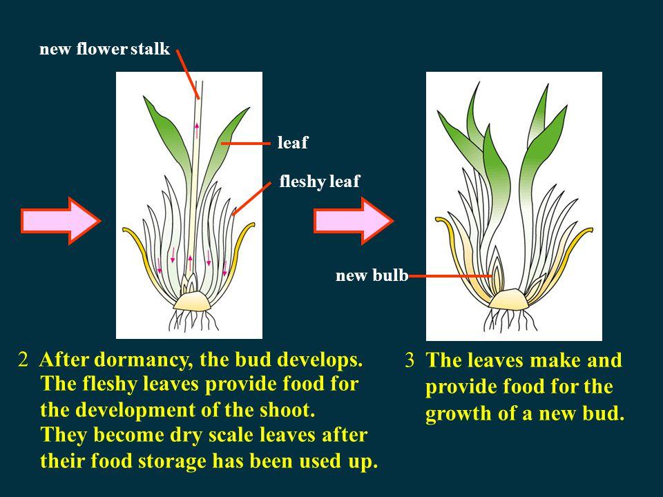 Bulb Vegetative propagation Growth of an onion bulb 1The bud remains dormant. fleshy leaf scale leaf bud stem root