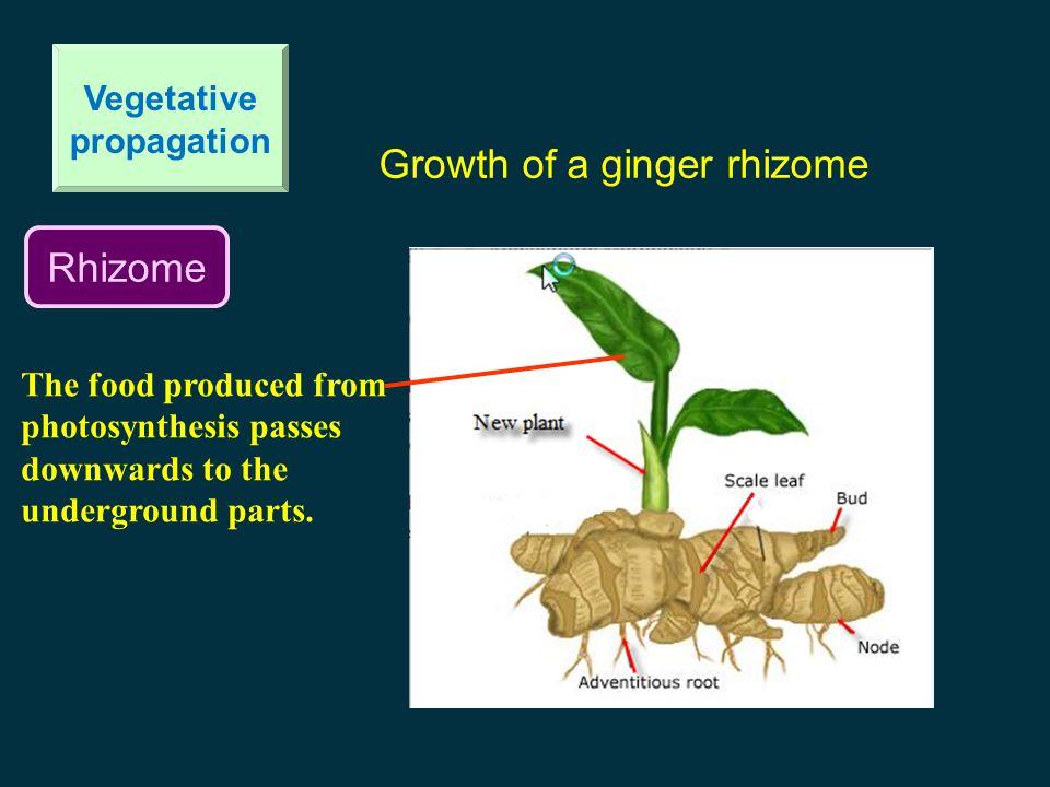 Rhizome Vegetative propagation Growth of a ginger rhizome