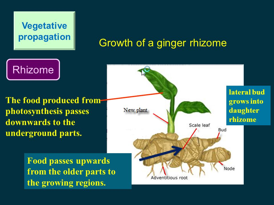 Rhizome Vegetative propagation Growth of a ginger rhizome The food produced from photosynthesis passes downwards to the underground parts.