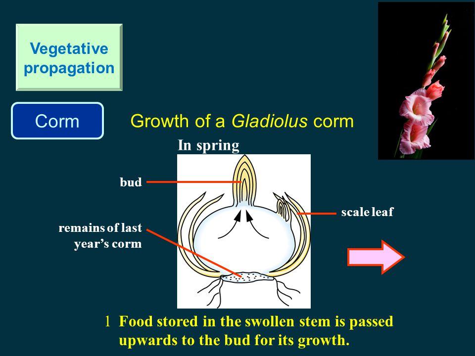 Corm Vegetative propagation Gladiolus