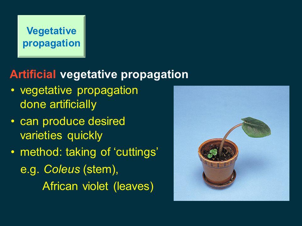 Corm Vegetative propagation