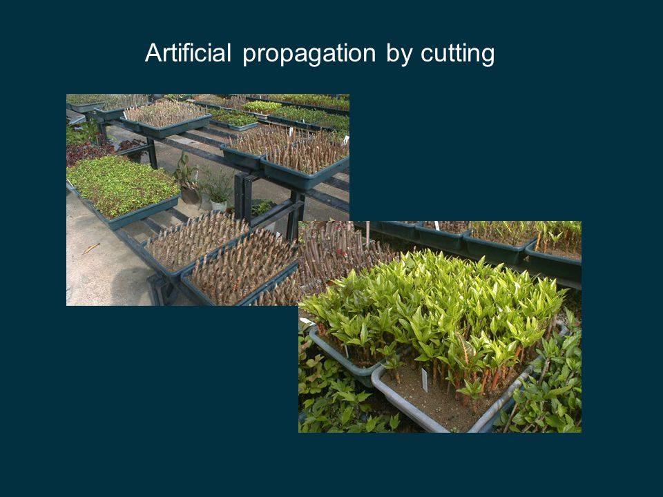 Artificial vegetative propagation vegetative propagation done artificially can produce desired varieties quickly method: taking of 'cuttings' e.g.