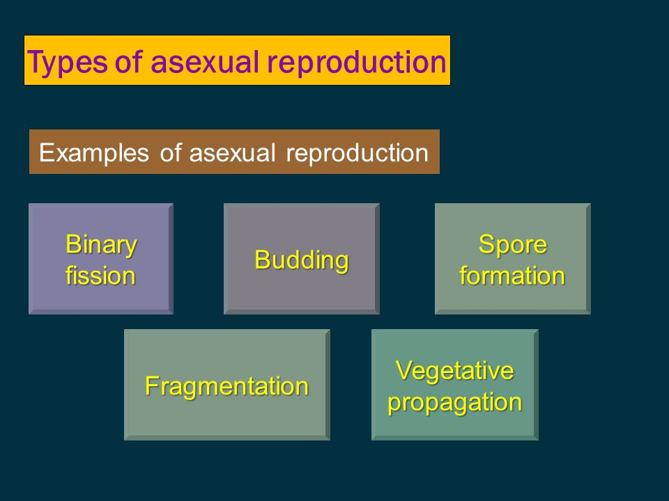 AsexualSexual involves one parent involves no gamete (sex cell) offspring are genetically identical to the parents – mitotic cell division usually involves 2 parentsusually involves 2 parents involves gametesinvolves gametes involves fertilizationinvolves fertilization –fusion of the nuclei of male & female gametes  zygote offspring are genetically different from each of their parentsoffspring are genetically different from each of their parents Two types of reproduction