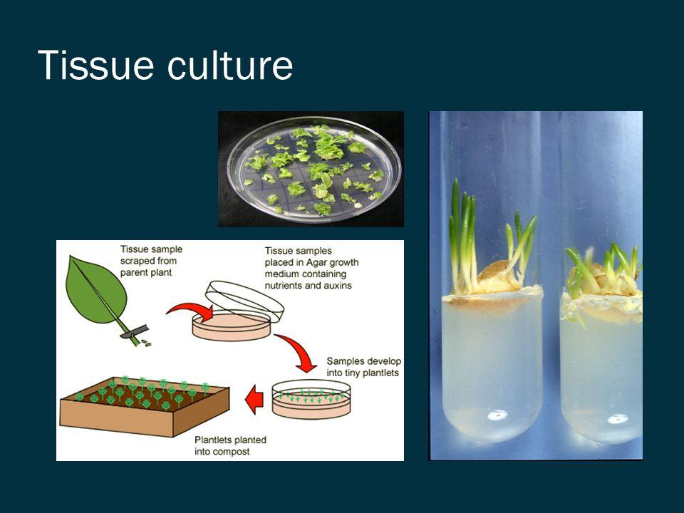 Micro propagation by tissue culture
