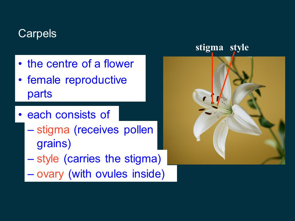 Stamens male reproductive organs filamentanther supports anther consists of 2-4 pollen sacs inside which pollen grains are formed anther pollen sacs filament when anthers ripen pollen sacs split open to release pollens which contain male gametes