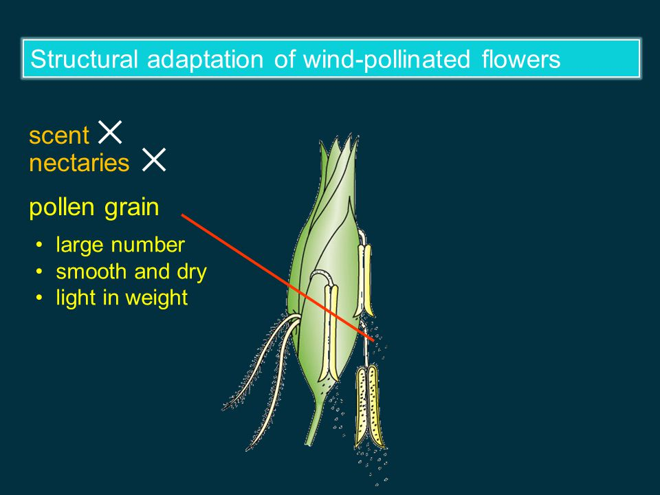 Wind-pollination and insect-pollination Wind pollination Insect pollination —pollinated by wind —pollinated by insects Wind-pollinated flowers Insect-pollinated flowers The flowers are structurally adapted to pollination.