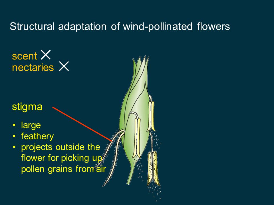 Structural adaptation of wind-pollinated flowers scent nectaries pollen grain large number smooth and dry light in weight