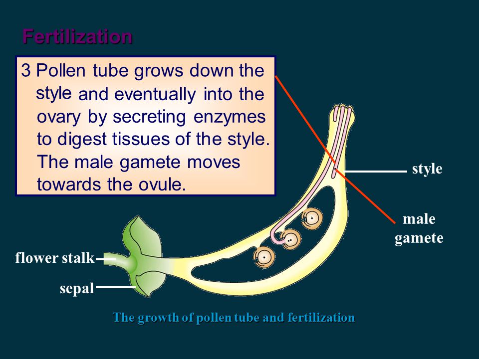 Fertilization The growth of pollen tube and fertilization 2Sugary solution at the tip of the stigma stimulates the pollen grain to develop a pollen tube.