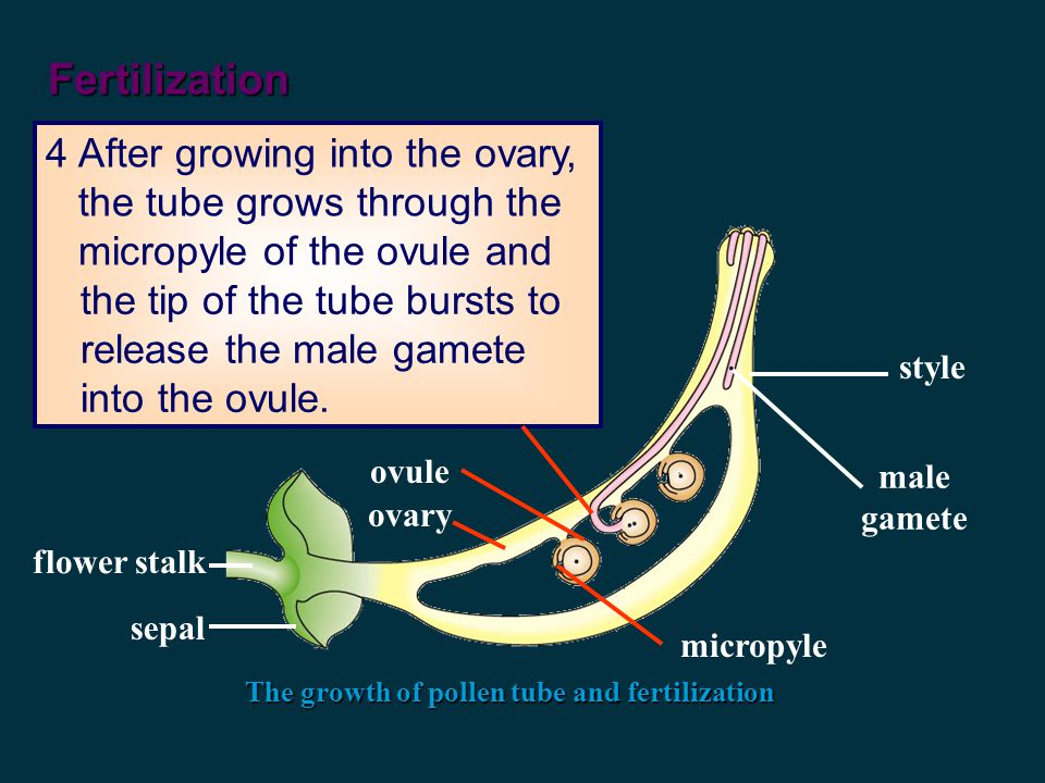 Fertilization The growth of pollen tube and fertilization 3Pollen tube grows down the style and eventually into the ovary by secreting enzymes to digest tissues of the style.