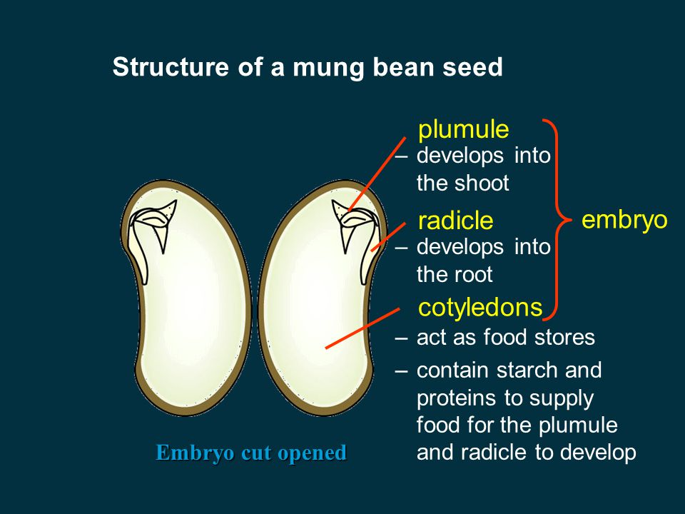 Fruits and seeds Structure of a mung bean seed External appearance seed coat –surrounds the embryo and protects it from damage and against attack of micro- organisms such as bacteria and fungi micropyle –a hole through which embryo absorbs water before it germinates hilum –a scar on the surface of the coat; formed when the ovule detaches from the ovary wall