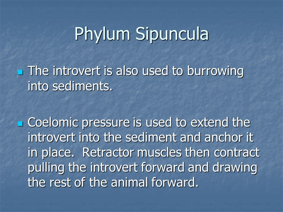 Phylum Sipuncula The introvert is also used to burrowing into sediments. The introvert is also used to burrowing into sediments. Coelomic pressure is