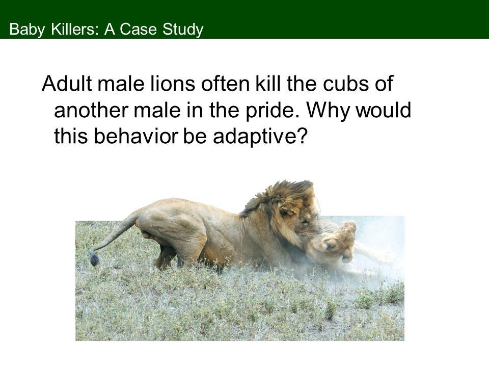 Baby Killers: A Case Study Young adult male lions are driven from the pride and may form bachelor prides that hunt together.