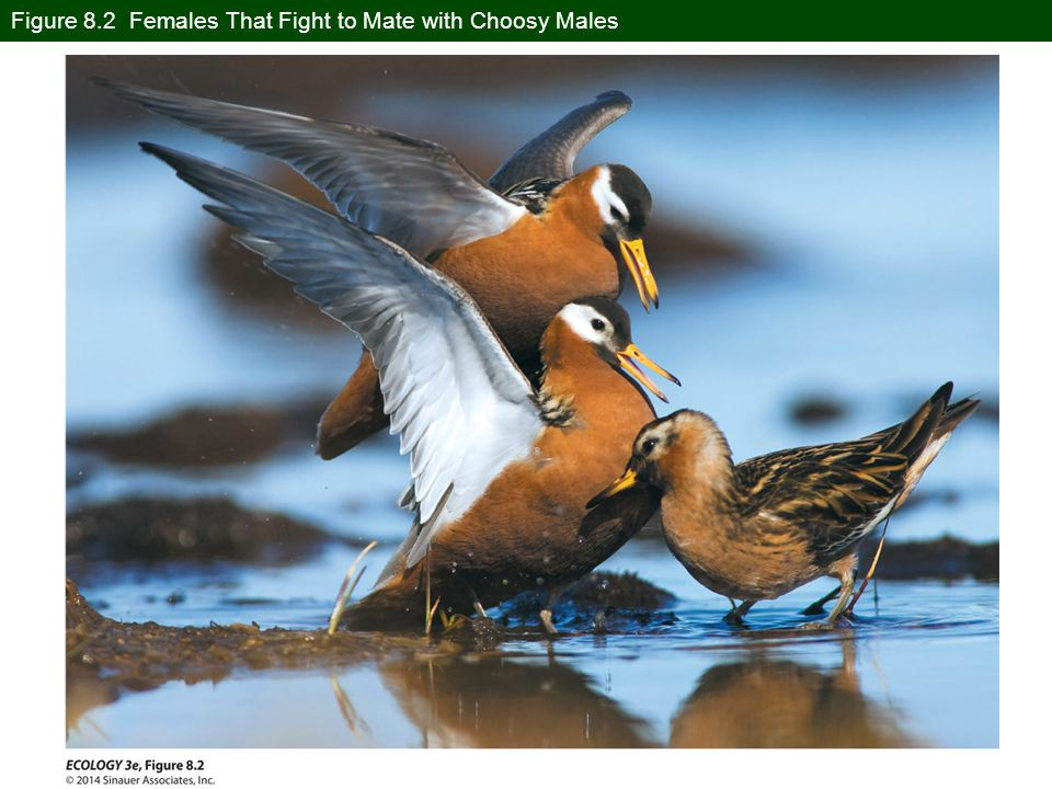 Concept 8.3 Mating Behavior There are exceptions: in some species females compete for males.