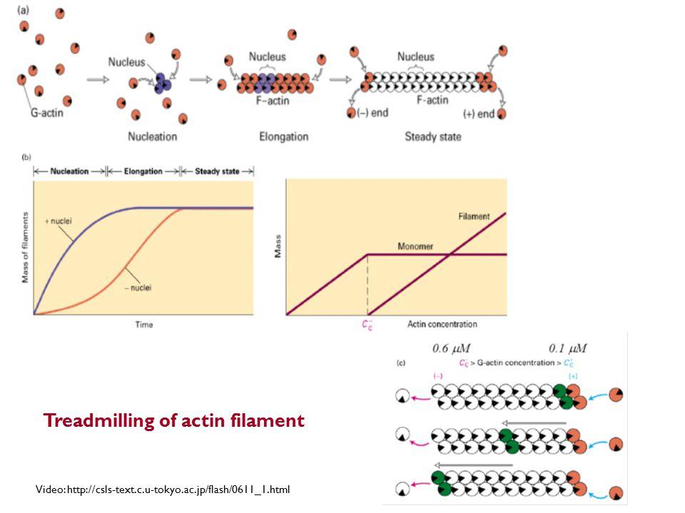 Treadmilling of actin filament Video: http://csls-text.c.u-tokyo.ac.jp/flash/0611_1.html
