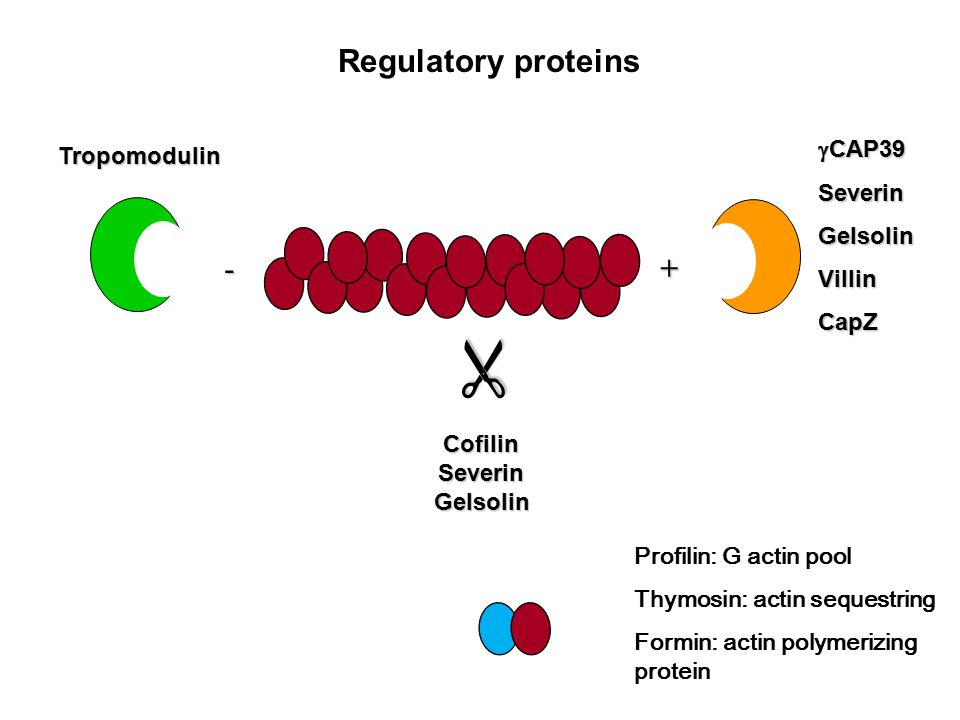 Regulatory proteins -+ CofilinSeverinGelsolin   CAP39 SeverinGelsolinVillinCapZ Tropomodulin Profilin: G actin pool Thymosin: actin sequestring Formin: actin polymerizing protein