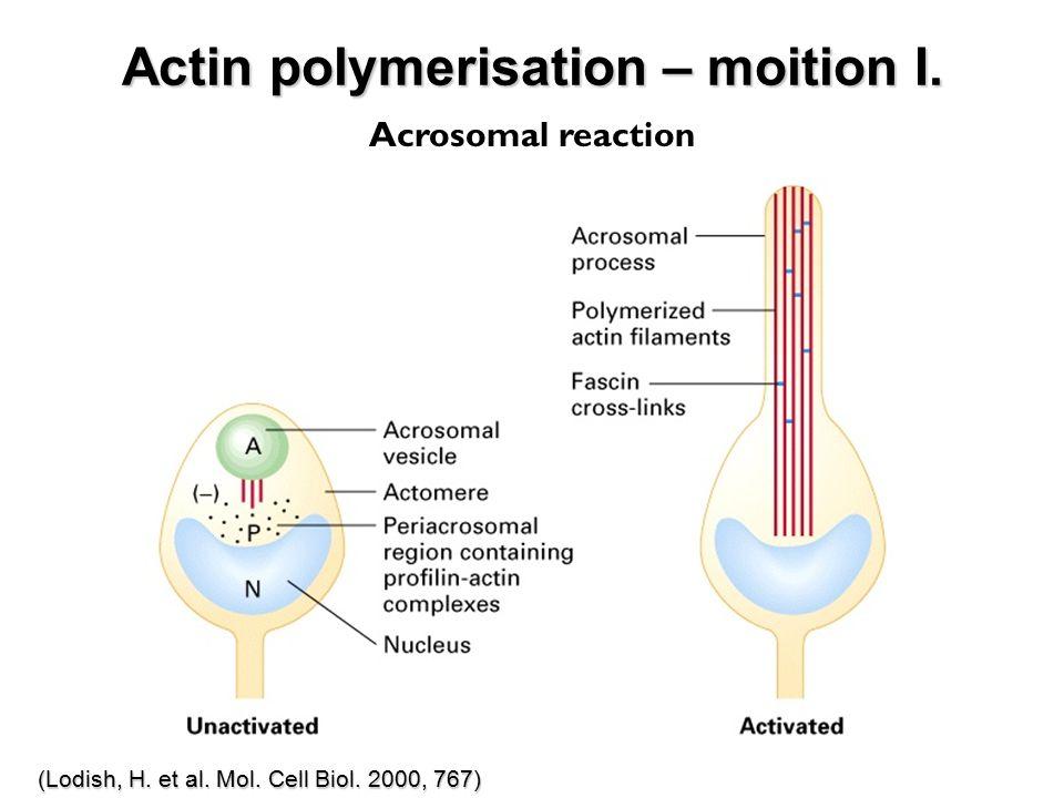 Actin polymerisation – moition I. (Lodish, H. et al. Mol. Cell Biol. 2000, 767) Acrosomal reaction