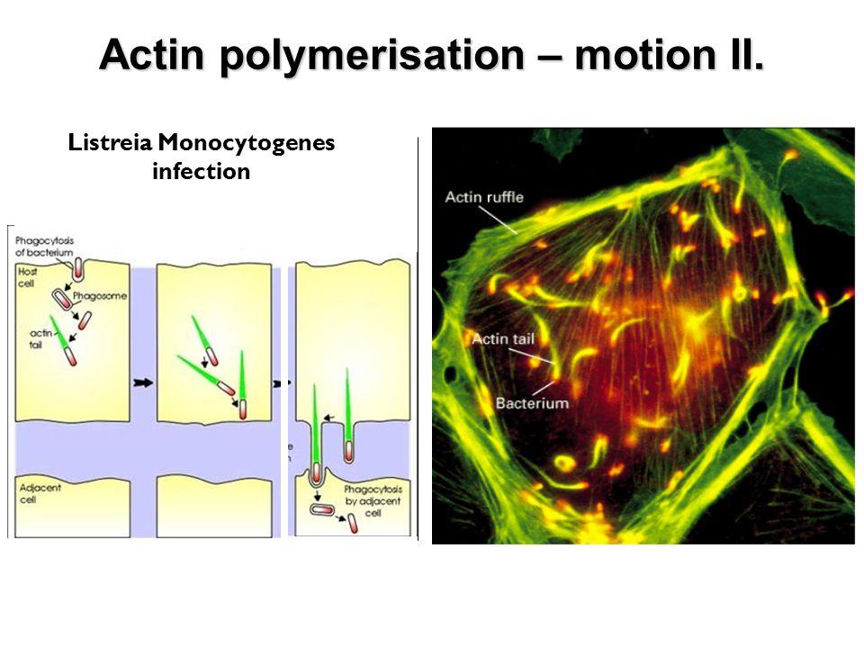 Listreia Monocytogenes infection Actin polymerisation – motion II.