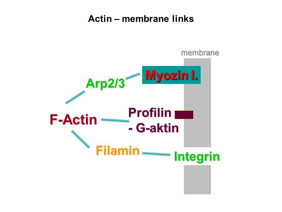 Actin – membrane links F-Actin Integrin Filamin Profilin - G-aktin Myozin I. Arp2/3 membrane