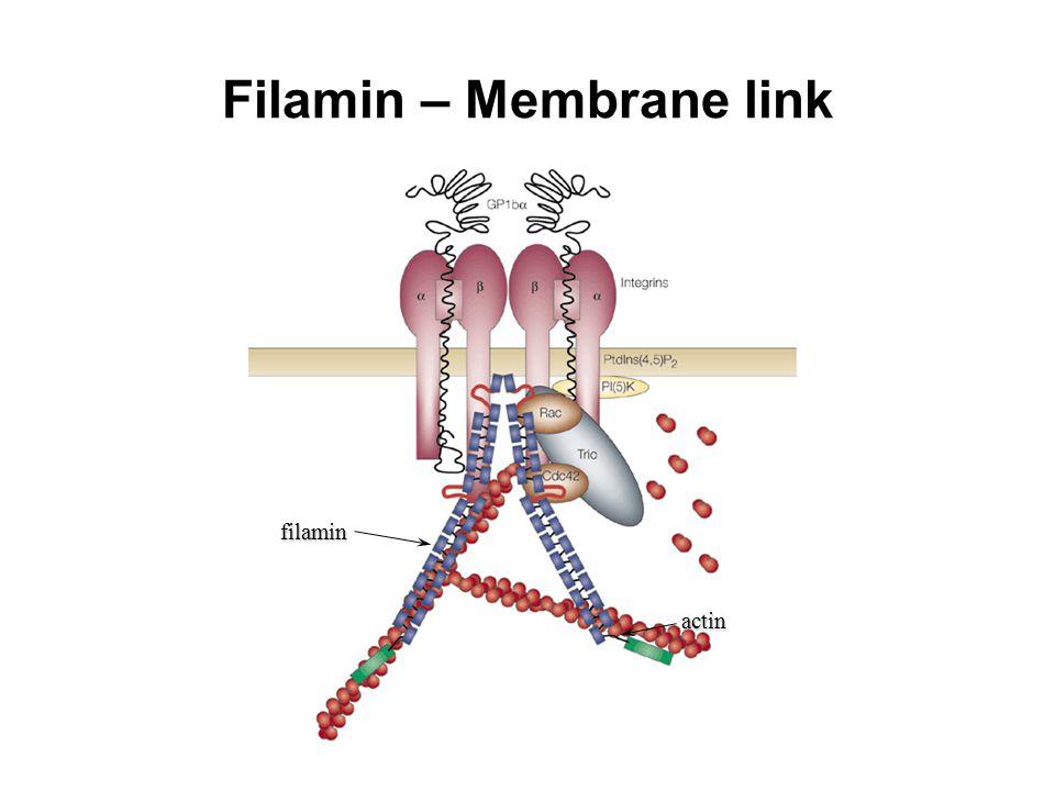 Filamin – Membrane link filamin actin