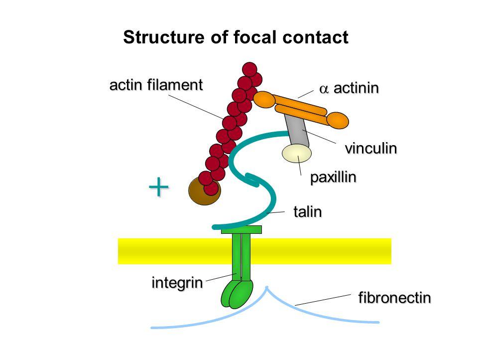 actin filament  actinin vinculin paxillin talin integrin fibronectin Structure of focal contact +