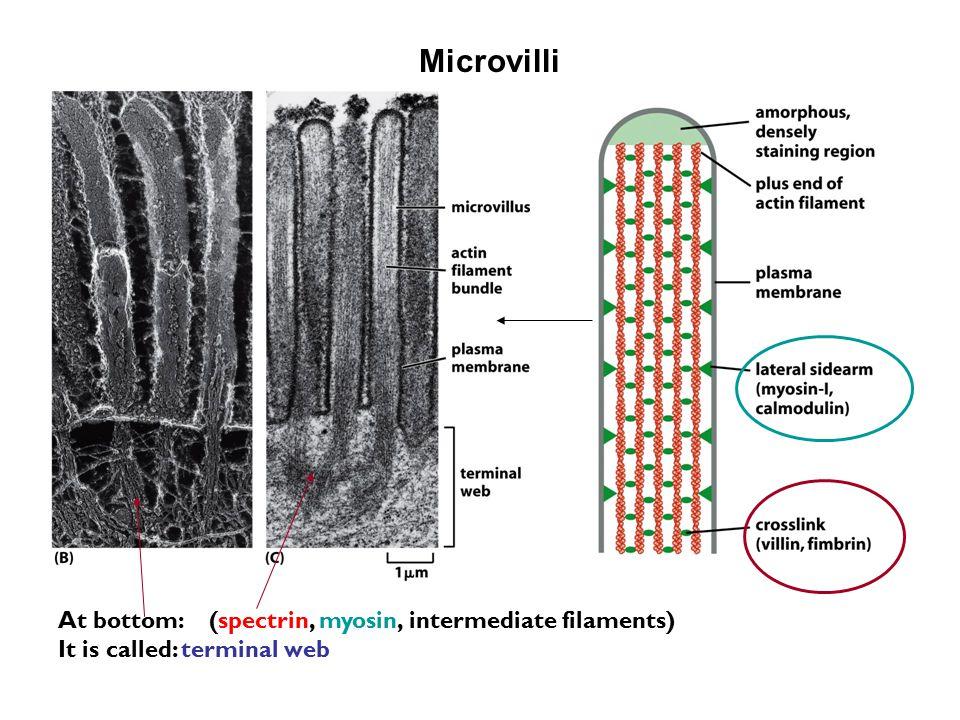 Microvilli At bottom: (spectrin, myosin, intermediate filaments) It is called: terminal web