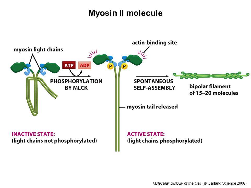 Molecular Biology of the Cell (© Garland Science 2008) Myosin II molecule